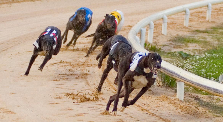 Greyhound racing. Image IGB