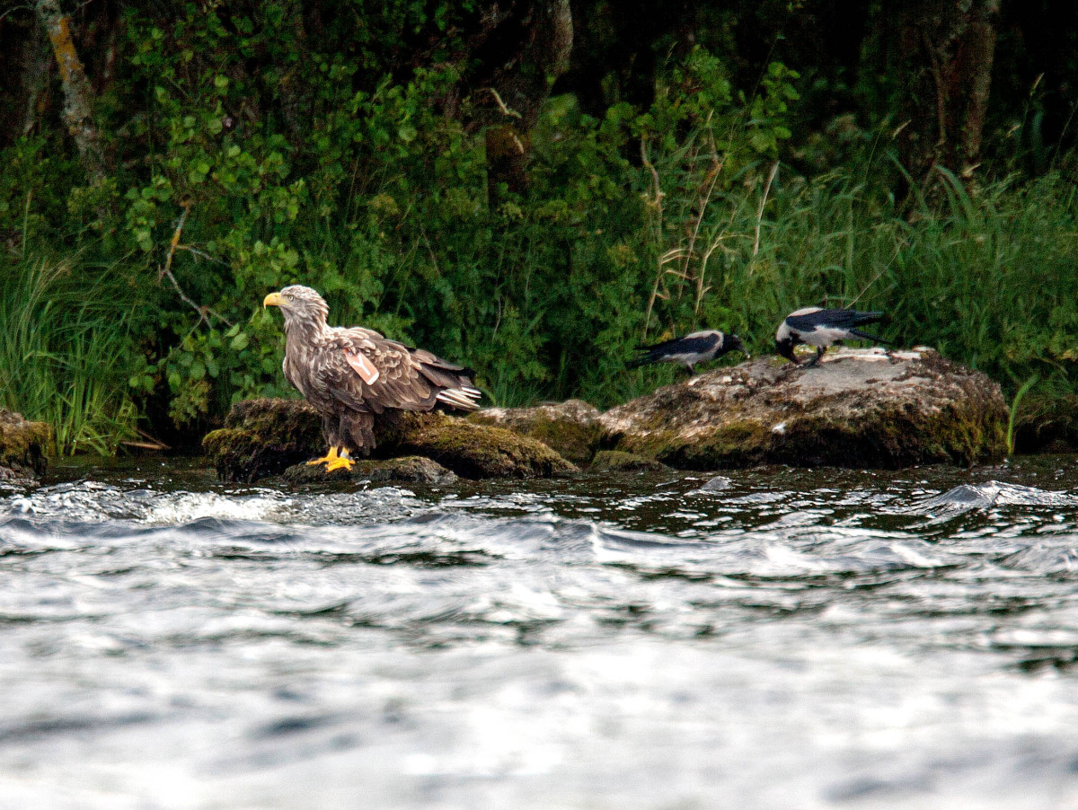 Sea Eagle Chick 2015 Cealtra on the rocky shores of an island on Lough Derg today .Pic Arthur Ellis.