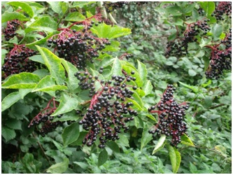 Elderberries are eaten by many species of birds