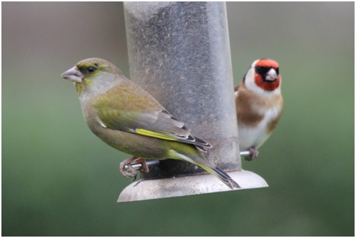 Greenfinch and Goldfinch on Garden Feeder