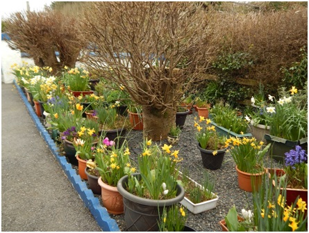 Patrick Fitzgerald, who is a regular reader took this wonderful photo of the stunning display of Daffodils in his garden.